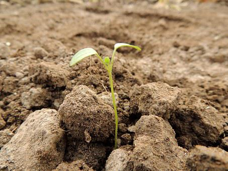 Sprouted seedling in rocky earth
