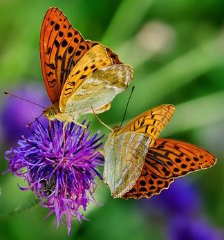 two butterflies on purple clover